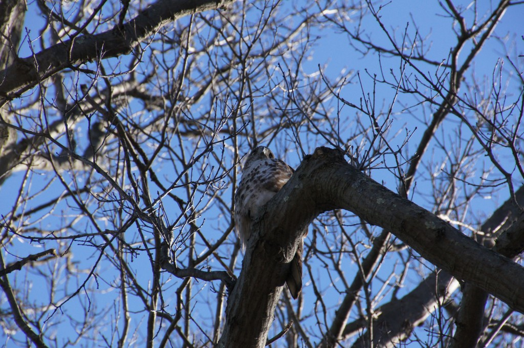 Hawk looking at me