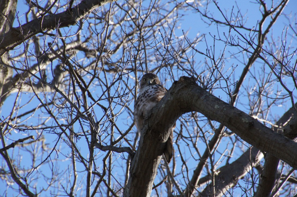 Hawk looking straight at me