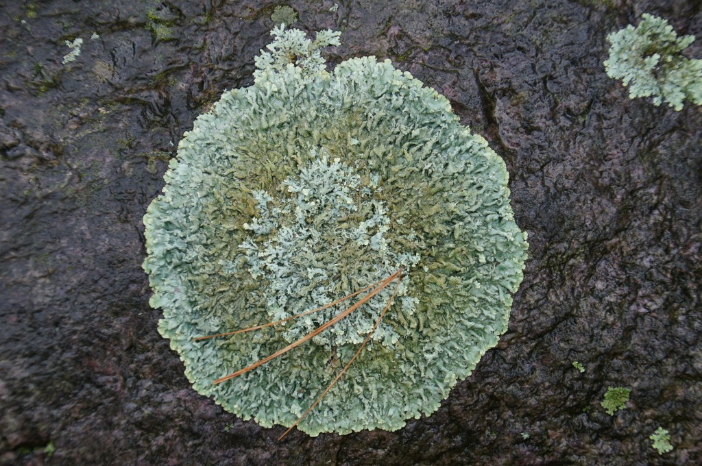 I really like lichen