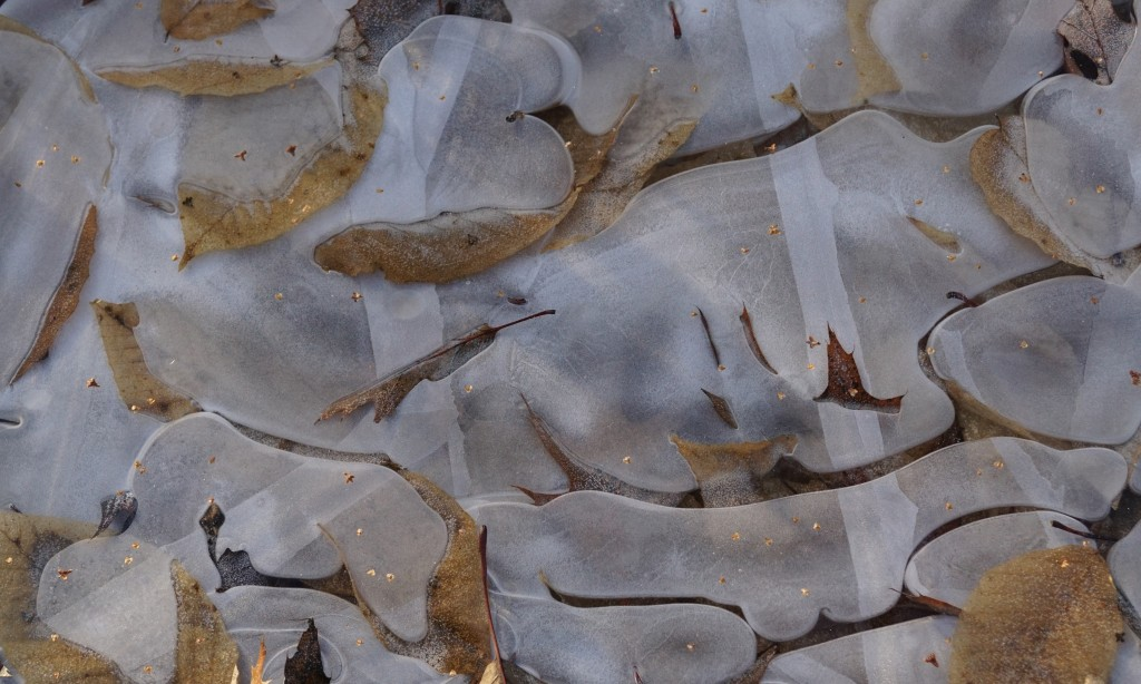 Leaves in ice