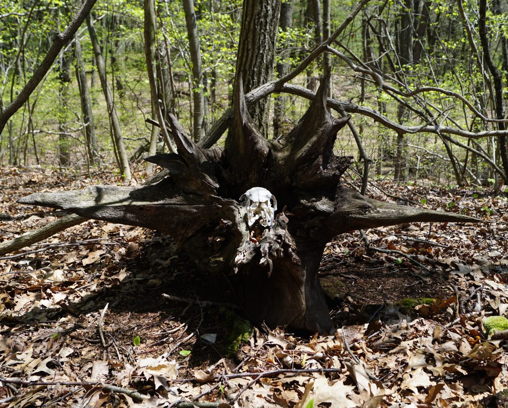 Just another skull in the Town Forest