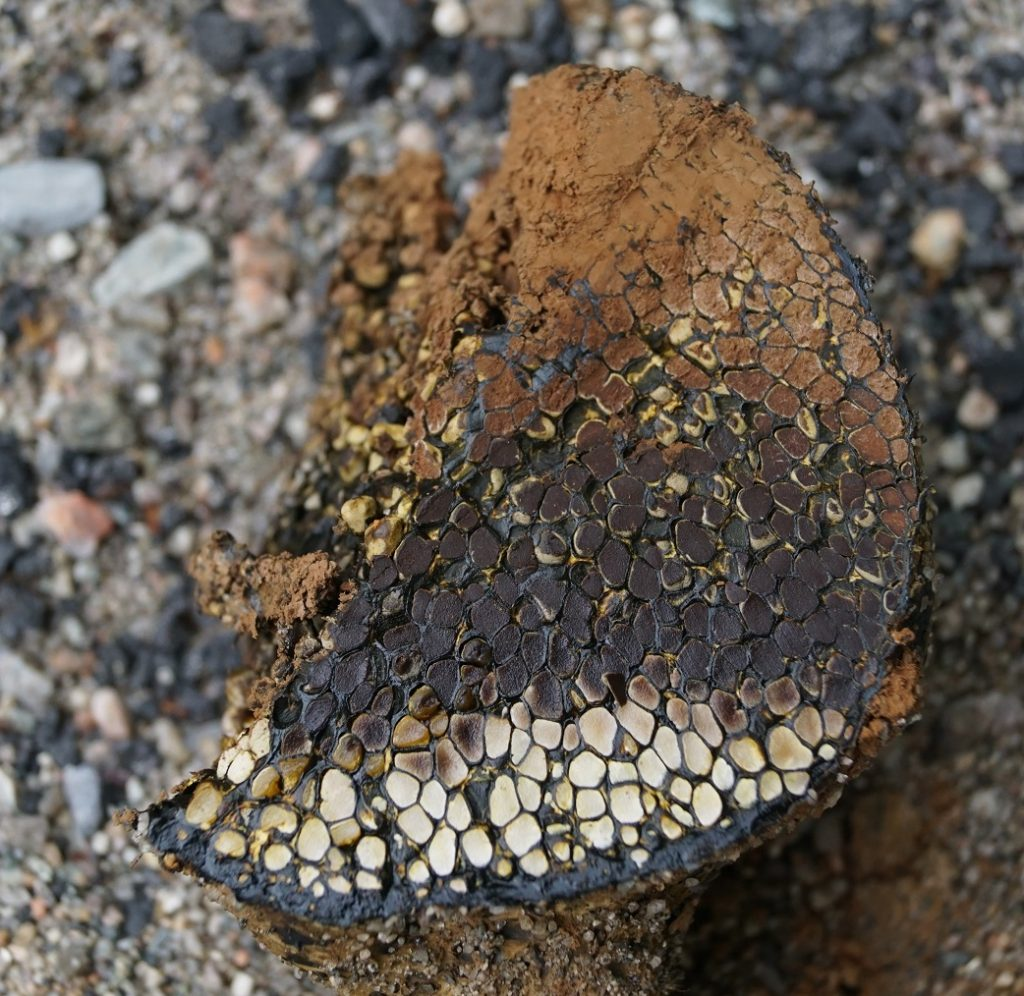 dog turd fungus
